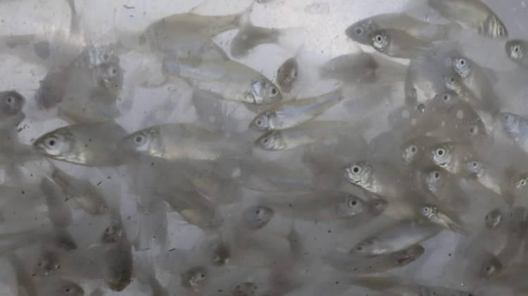 CuplikCom-Benih-Hasil-Budidaya-Topang-Kelestarian-Ikan-Lokal-di-Danau-Toba-13102021060624-IMG-20211013-WA0002.jpg