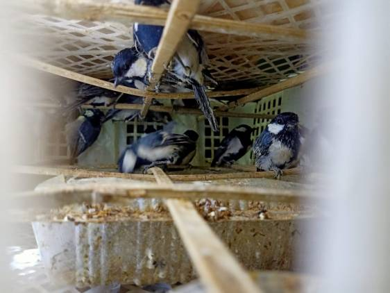 CuplikCom-Ribuan-Burung-Yang-akan-Diselundupkan-ke-Pulau-Jawa-Berhasil-Digagalkan-KSKP-Bakauheni-02082021170419-IMG-20210802-WA0047.jpg